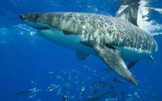 Сколько зубов у акулы? особенности строения челюсти хищницы