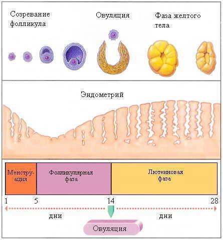 Сколько длится овуляция (дней или часов) при 28 дневном цикле, сколько она идет при более коротком или длинном цикле, когда планировать зачатие