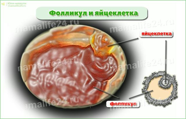Через неделю после овуляции болит яичник: когда это норма и не норма