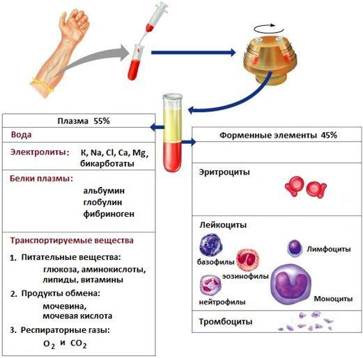 Плазма крови: для чего нужна и как выглядит, состав и функции белкового вещества