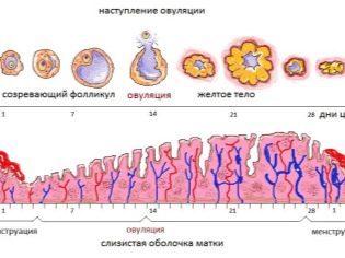 Как лопнуть фолликул и когда обычно происходит разрыв: при каком размере и на какой день созревает, как понять, что яйцеклетка вышла из яичника