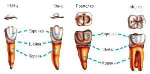 Моляры и премоляры у человека: какие это зубы, расположение и особенности