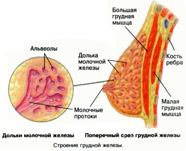Молозиво при беременности: за сколько до родов появляется желтое выделение из грудей, как выглядит на ранних сроках и всегда ли имеется перед родами