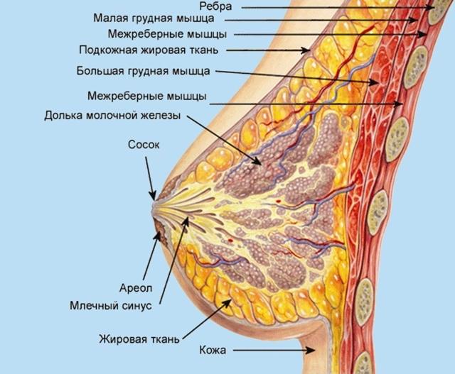 Строение женской груди: анатомия молочной железы, из чего состоит, размер и форма