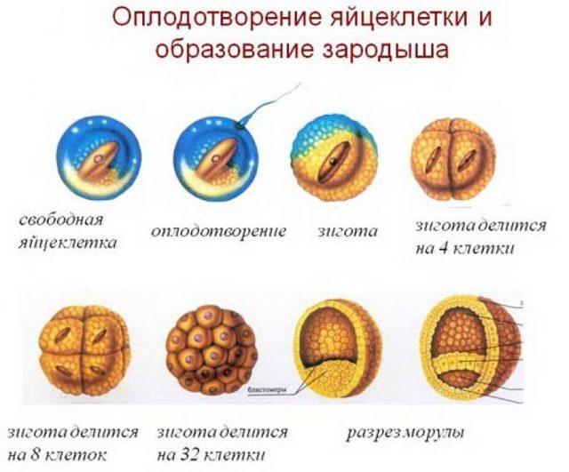 Оплодотворение яйцеклетки и её развитие (подробно)