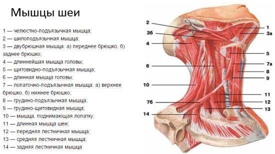 Анатомия лица для косметологов. Мышцы, строение лица и шеи человека, нервы, послойная кожа, связки, жировые пакеты, иннервация, череп. Схемы, фото и описание