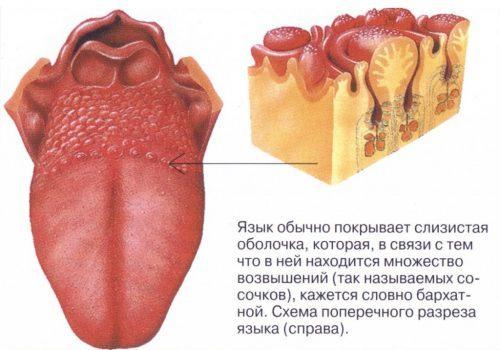 Красные пупырышки на языке ближе к горлу: что это, фото к гортани у ребенка