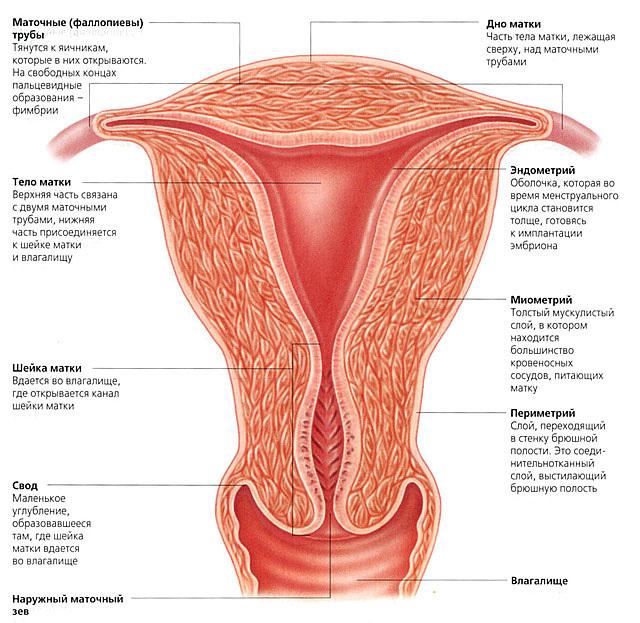 Как выходит эндометрий. Толстый эндометрий: строение, воздействие на организм, лечение