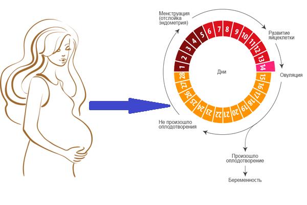 Короткий менструальный цикл – причины укорочения цикла, нужно ли лечение