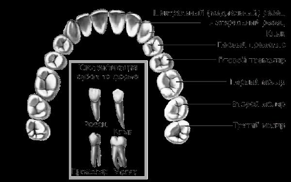 Строение зуба человека: схема, гистология органов верхней и нижней челюсти