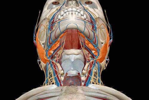 Сколько пар крупных слюнных желез у человека