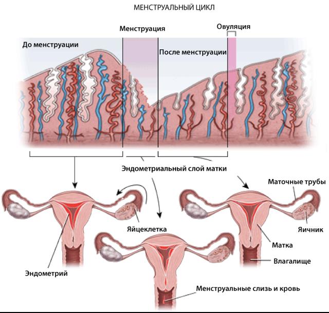 М-эхо матки: норма в различные дни менструального цикла