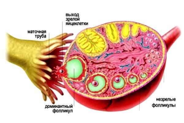Фолликулы в яичниках при менопаузе: норма и отклонение